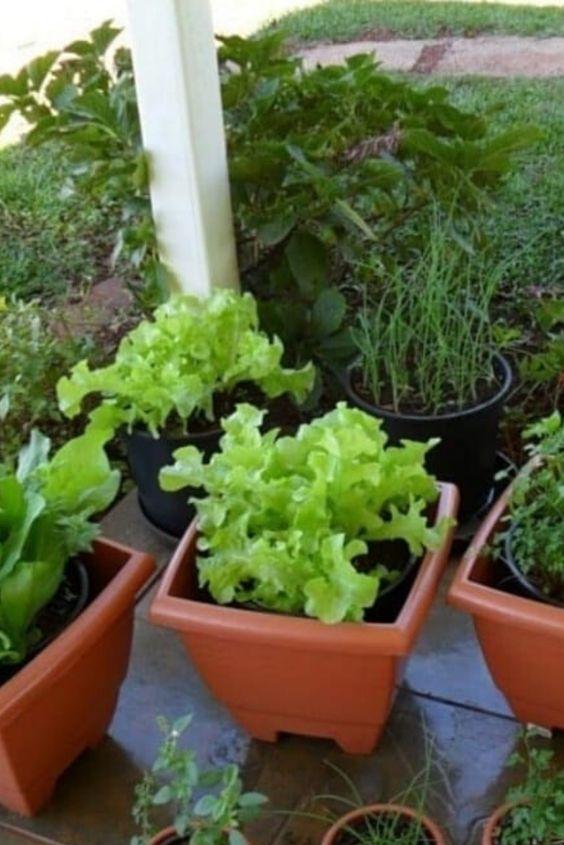 alface plantada em vasos pequenos e de plastico para horta em casa